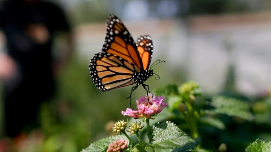 In this Wednesday, Aug. 19, 2015 photo, Tom Merriman stands behind a monarch in his butterfly atrium at his nursery in Vista, Calif. Five years ago, Merriman didn't sell milkweed at all; this summer, he sold more than 14,000 plants and is shipping truckloads of seedlings all over California and other bone-dry Western states like Arizona, New Mexico and Utah. (AP Photo/Gregory Bull)