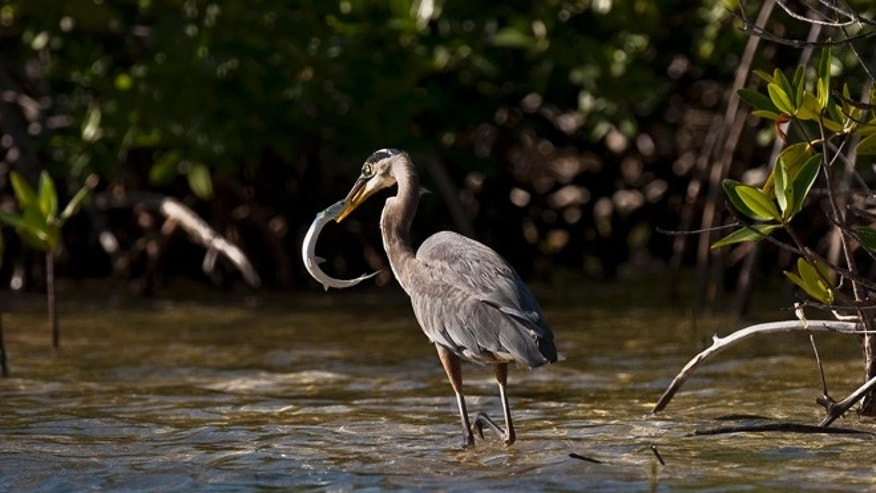 A Great Blue Heron (Ardea herodias) remains at a mangrove swamp in Cancun, Quintana Roo State, Mexico, on November 26, 2010. Representatives from 194 countries are to meet in the Mexican resort city of Cancun from November 29 to December 10 in a UN climate summit. AFP PHOTO/Ronaldo Schemidt (Photo credit should read Ronaldo Schemidt/AFP/Getty Images)