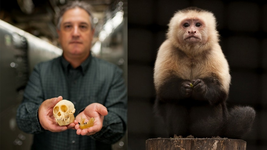 Left: Jonathan Bloch displays the fossil teeth of the new species, Panamacebus transitus (right) and the skull of the closely related modern tufted capuchin, Cebus apella. Right: A white-headed capuchin from Panama may resembles what Panamacebus transitus probably looked like. (Photos: Florida Museum of Natural History/Kristen Grace, courtesy Jonathan Bloch)