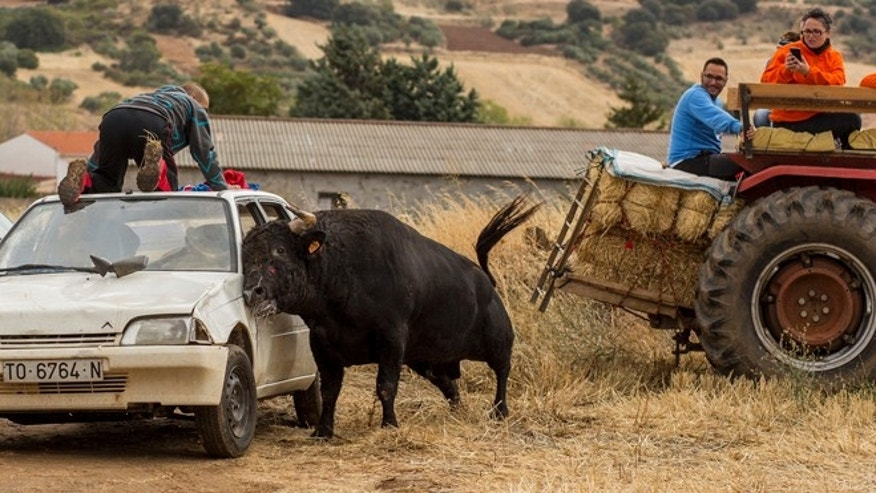 A bull at a rural encierro in Spain. (Photo: Courtesy of PACMA)