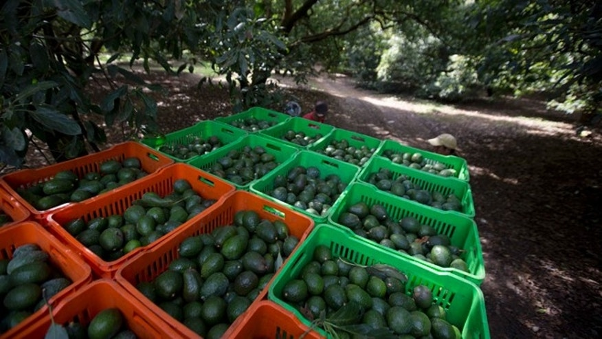Avocado boxes are collected in an avocado orchard in Michoacan, Mexico.