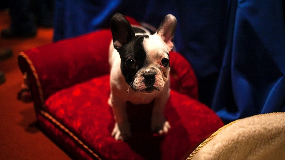 The Better Business Bureau's report says French Bulldogs, like the one pictured above, are often fraudulently advertised online.