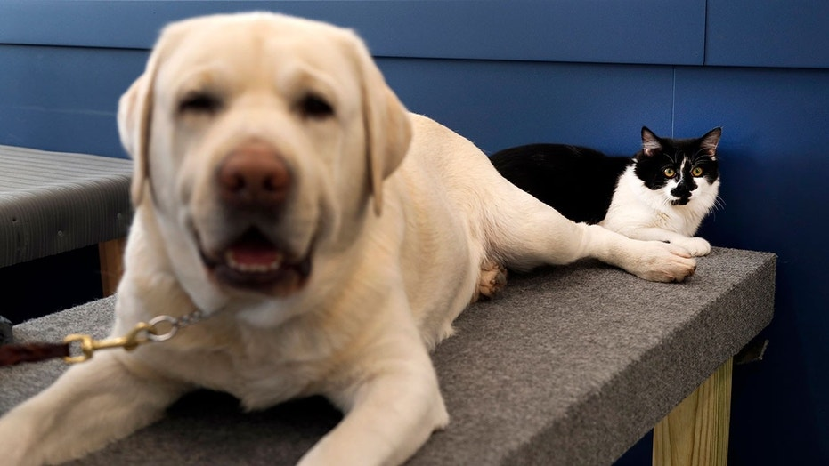 Ironically, this cat plays and important role in acclimating assistance dogs to their new environments.