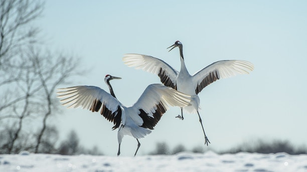 Two Japanese red-crowned cranes leaping and dancing performing their mating courtship ritual in the snow in Winter