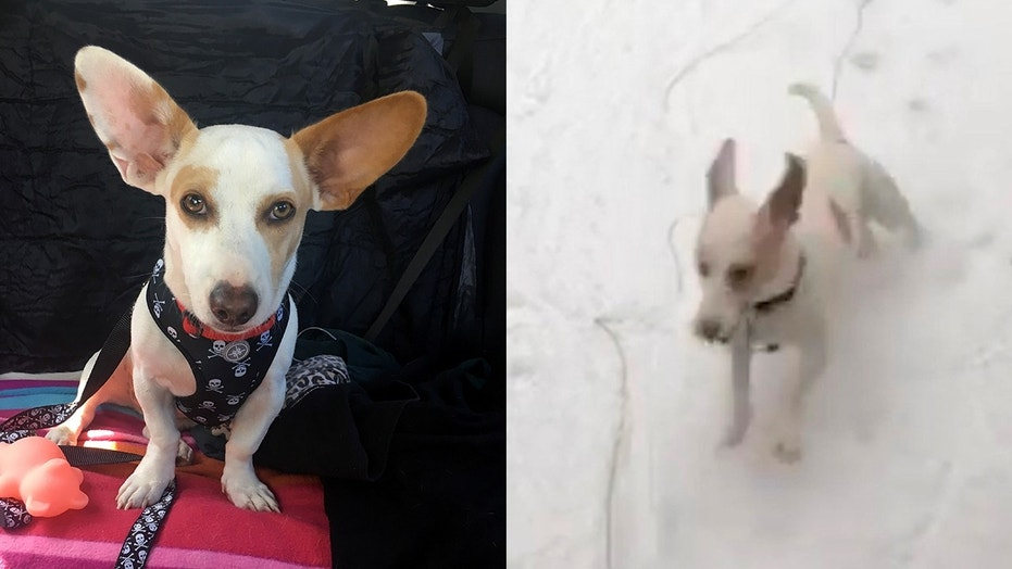 Yoda the rescue pup from Puerto Rico was so excited the first time he saw snow.