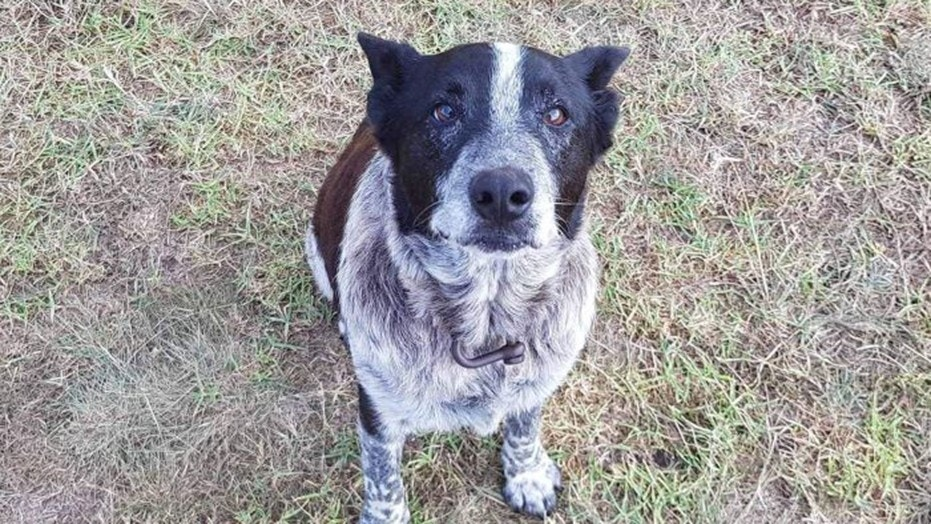 Max, a 17-year-old Blue Heeler from Queensland, Australia, is praised after spending more than 15 hours in the rainforest with a lost three-year-old girl in the rain.