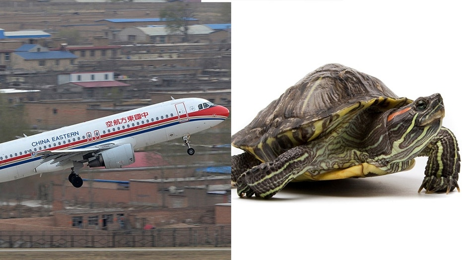One China Eastern Airlines staffer attempted to smuggle almost two dozen spotted and box turtles in a carry-on from Los Angeles to China.