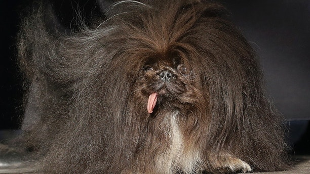 Wild Thang, a Pekingese, stands onstage during the World's Ugliest Dog Contest at the Sonoma-Marin Fair in Petaluma, Calif., Saturday, June 23, 2018. A 9-year-old English bulldog, Zsa Zsa, was named the winner of the 2018 World's Ugliest Dog contest in the San Francisco Bay Area. (AP Photo/Jeff Chiu)