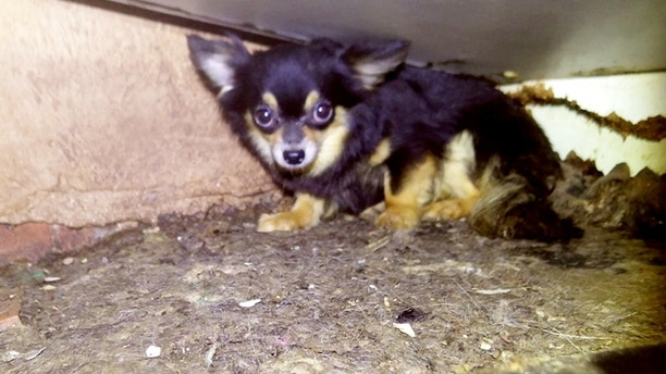 "Police investigating woman's death found 82 chihuahuas inside a couple's home.   See NTI story NTIDOGS.  RSPCA inspector Herchy Boal was on duty in Birmingham, in the West Midlands, when she was called by police who were investigating the death of a woman.  ""When I arrived at the property I found 82 dogs inside. They literally started appearing from everywhere. We would move the washing machine and suddenly there'd be six faces looking at you. It was incredible where they were able to hide.""  All 82 dogs were removed and taken to the charity's Newbrook Farm Animal Hospital in Birmingham, some had matted coats and fleas, others had burns. Staff worked through the night to check over all of the dogs and ensure they received necessary treatment."