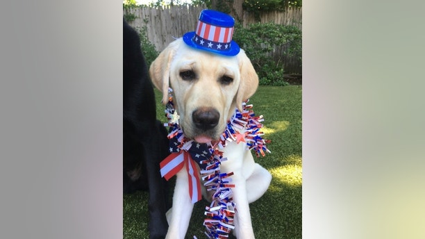 Daily spike patriotic pup
