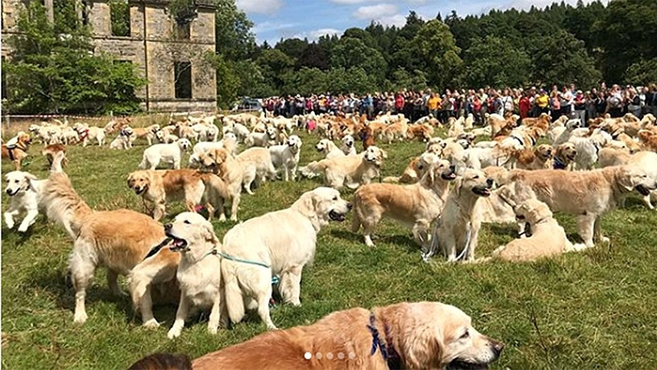 hundreds of golden retrievers gather in scotland for breed s 150th