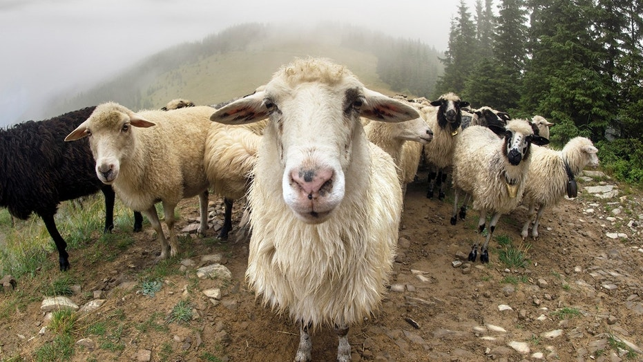 The retailer's announcement comes after backlash from animal rights groups who seek to keep the angora goats from being abused.
