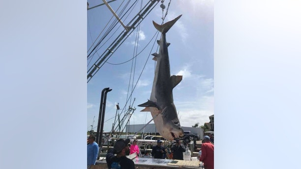 12-foot tiger shark 2