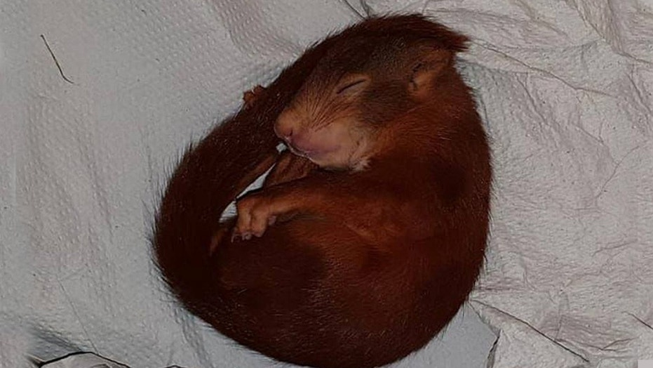Police in the southeastern German town responded to a distressed call and found a squirrel (pictured) running after an unidentified man.