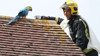 Mandatory Credit: Photo by REX/Shutterstock (9788994b)A parrot stuck on a roof for three days greeted firefighters sent to its aid with a four-letter tirade. Jessie, the multi-lingual Macaw, flipped the bird after escaping from her owner's home in Edmonton, north London. When she could not be lured down from a neighbour's roof, firefighters were called out and told to tell the bird 'I love you' - to which Jessie replied 'I love you back'.But she then ruffled her would-be rescuers' feathers by telling them to 'f**k off' before flying off to another nearby rooftop.The foul-mouthed pet also speaks Turkish and Greek according to its owner, but had its own choice words in English for the rescue team. Watch Manager Chris Swallow said: 'Jessie had been on the same roof for three days and there were concerns that she may be injured which is why she hadn't come down.'Our crew manager was the willing volunteer who went up the ladder to try and bring Jessie down. 'We were told that to bond with the parrot, you have to tell her 'I love you', which is exactly what the crew manager did.' Mr Swallow continued: 'While Jessie responded 'I love you' back, we then discovered that she had a bit of a foul mouth and kept swearing, much to our amusement.'Jessie also speaks Turkish and Greek, so we tried telling her to 'come' in both those languages too. 'Thankfully it soon became apparent that Jessie was fine and uninjured as she flew off to another roof and then to a tree.' As Jessie wasn't injured, the firefighters, who had been called in by the RSPCA, left her on her perch. The parrot was later reunited with its owner.Potty Mouth Parrot Greets Firefighters with Abusive Tirade, Edmonton, UK - 13 Aug 2018