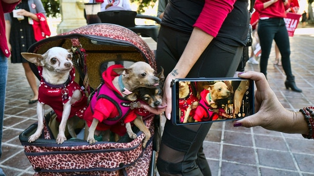 A local reporter takes a photo of a group of elderly Chihuahuas as they join protesters with the People for the Ethical Treatment of Animals (PETA) during fur ban protest at Los Angeles City Hall on Tuesday, Sept. 18, 2018. Los Angeles would become the largest city in the U.S. to ban the sale of fur products if the City Council approves a proposed law backed by animal activists who say the multibillion-dollar fur industry is rife with cruelty. (AP Photo/Richard Vogel)