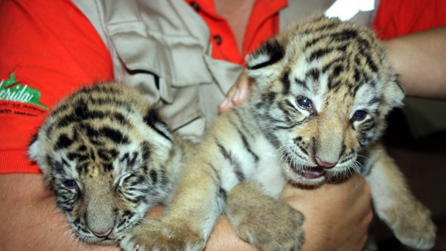 Two of the three  cubs, Rajah and Sajid, are being fed a special formula by zookeepers due to the low weight of the tigress, while the female cub, Kali, remains with her mother.