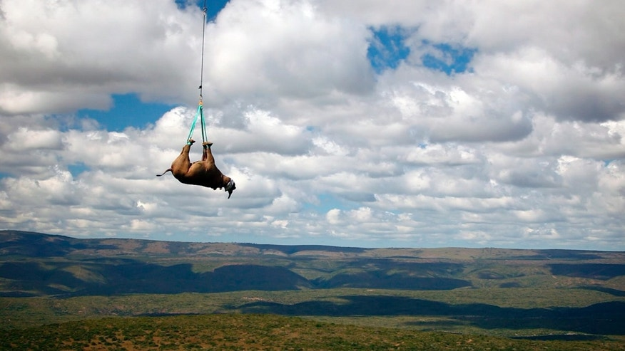 In this undated photo provided by Green Renaissance/World Wildlife Fund, a black rhino is transported by helicopter in South Africa. The seventh black rhino population established by the WWF Black Rhino Range Expansion Project was released after an epic trip across the country. Nineteen of the critically endangered animals were moved from the Eastern Cape to a new location in Limpopo province.  (AP Photo/Green Renaissance-World Wildlife Fund)