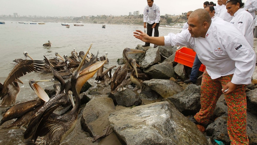 A Peruvian chef tosses a fish to a pelican at a pier in Chorrillos, Peru, Friday, May 18, 2012. A group of local chefs and restaurant owners gathered on the pier to feed pelicans in their efforts to save them from starvation. Scientists studying a mass die-off of thousands of pelicans on northern Peru's beaches say they think hotter than usual ocean temperatures have driven a type of anchovy deeper into the sea, beyond the reach of many young pelicans. (AP Photo/Martin Mejia)