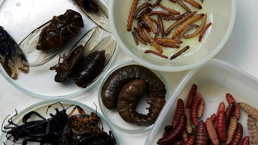 FILE - In this May 30, 2005 file photo, several insects being studied for their nutritional value are seen at the zoology building in Mexico's National Polytechnic Institute in Mexico City, Mexico.  (AP Photo/Dario Lopez-Mills, File)