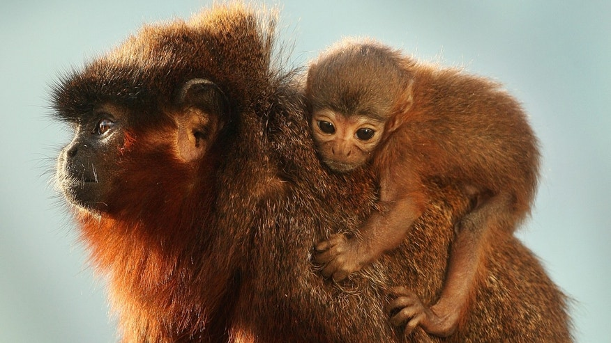 Vale, a four week old red titi monkey,  sits on his dad Thiago's back in the rainforest. The San Martin titi monkey from Peru is on the endangered species list. Environmental groups say they will not survive unless they receive international protection.