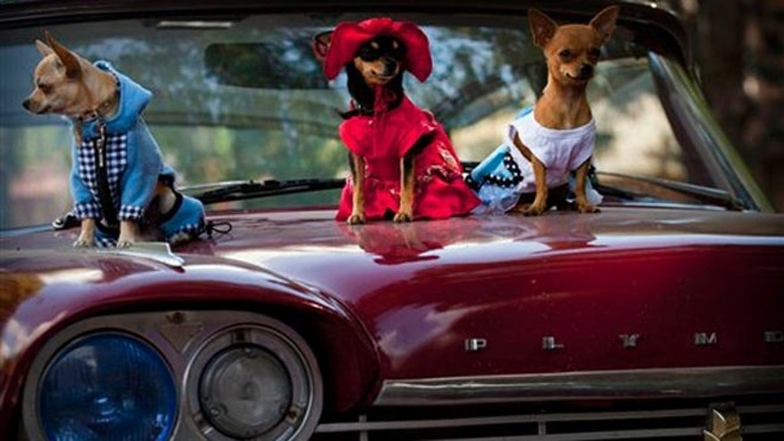 In this Nov. 25, 2012 photo, chihuahua dogs in costume, from left, Petite, Legrand and Lentille, sit on the hood of a classic American car at the Fall Canine Expo in Havana, Cuba.  Hundreds of people from all over Cuba and several other countries came for the four-day competition to show off their shih tzus, beagles, schnauzers and cocker spaniels that are the annual Fall Canine Expo's star attractions. (AP Photo/Ramon Espinosa)