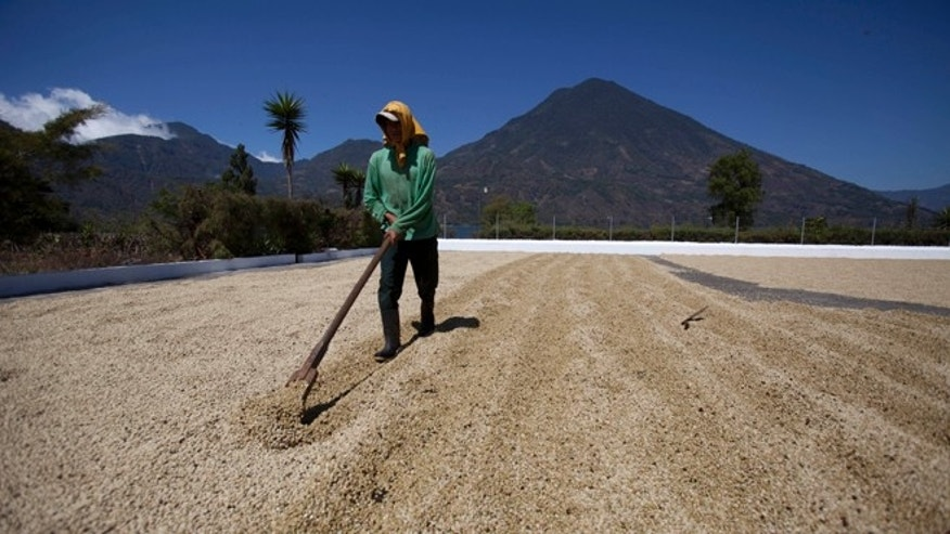 A worker dries coffee beans at a coffee plantation in Santiago Atitlan, Guatemala, Friday, Feb. 8, 2013. Guatemala's President Otto Perez Molina has declared a national emergency over the spread coffee rust, a fungus that is affecting 70 percent of the country's crop. Molina said Friday that the pesticides will start being applied to coffee plants in April and that two more applications will be needed during the year. (AP Photo/Moises Castillo)