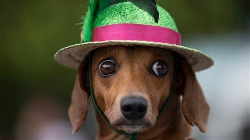 "A dog is seen during the ""Blocao"" dog carnival in Rio de Janeiro, Brazil, Sunday, Feb. 16, 2014. About 100 dogs have had their day at a pre-Carnival bash in Rio de Janeiro. A 10-man brass band and a singer belting out Rio's anthem song ""Cidade Maravilhosa"" (Marvelous City) kicked off the four-footed fest as dog owners gathered to party down with pooches on Copacabana beach Sunday. (AP Photo/Silvia Izquierdo)"