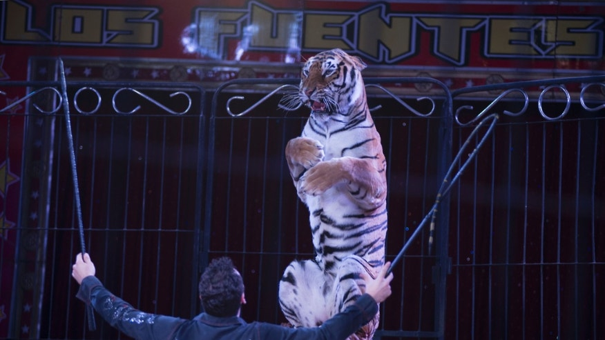 In this June 22, 2014 photo Alex Fuentes coaches Furia, a female Bengal Tiger, during a performance with the Fuentes Gasca Brothers Circus in Mexico City. The tigers are declawed when they are babies as to not harm the trainers, said Alex, who had suffered an injury a few years ago when one of his tigers bit into his thigh leaving gaping hole. It took him two months to recover. (AP Photo/Sean Havey)