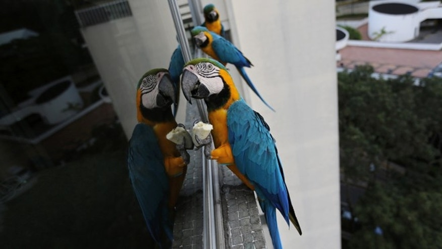 In this November 14, 2014 photo, macaws feed on bananas left for them while they stand on the window ledge of an apartment in Caracas, Venezuela. The city of around 6 million people does not seem welcoming for exotic birds. But the macaws supplement the food they forage with snacks birders leave for them. (AP Photo/Ariana Cubillos)