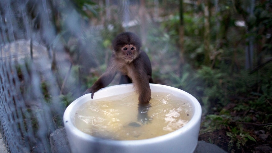 In this April 18, 2015 photo, a monkey dips its hand into a water receptacle at the Amazon Animal Orphanage in the Pilpintuwasi rainforest, near Iquitos, Peru. The monkey was among 39 animals that Animal Defenders International, with the assistance of the Peru's air force and navy, airlifted Saturday to the animal refuge in Peru's amazon rainforest from Lima, where they were held after being rescued from animal traffickers and circus programs. (AP Photo/Rodrigo Abd)