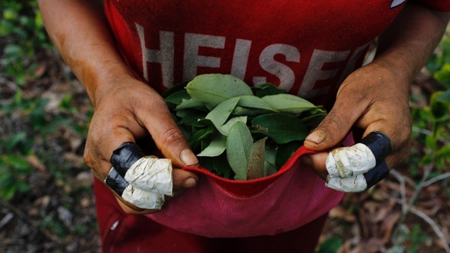 In this June 20, 2015 photo, Niberta Galvez uses the bottom half of his shirt to collect coca leaves in Samugari, Peru. Coca farmers were among the locals who, in 1984, formed citizen militias to help the military beat back Shining Path rebels, reducing them to a small group of fewer than 500 who now are deeply involved in drug trafficking. (AP Photo/Rodrigo Abd)