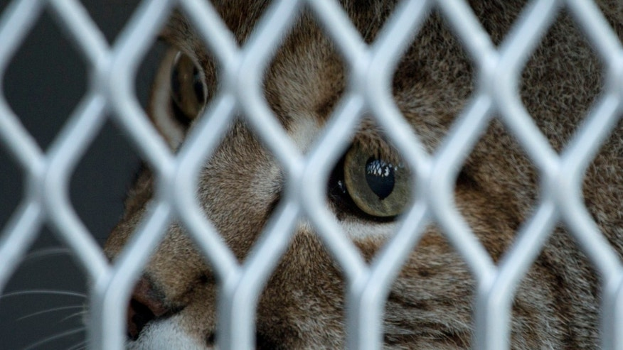 "A lynx named ""Black"" peers from a container before being placed on an airplane in Mexico City, Wednesday, Aug. 26, 2015, which will take it to The Wild Animal Sanctuary in Keenesburg, Colorado. The owner of Black, who had it as a pet in Pachuca, turned the lynx over to authorities after he was unable to continue caring for it, according to Mexico's Wildlife Protection agency, PROFEPA. Black joined another lynx, a puma and a coyote for the trip to the Colorado wildlife sanctuary where animals can roam relatively freely. (AP Photo/Eduardo Verdugo)"