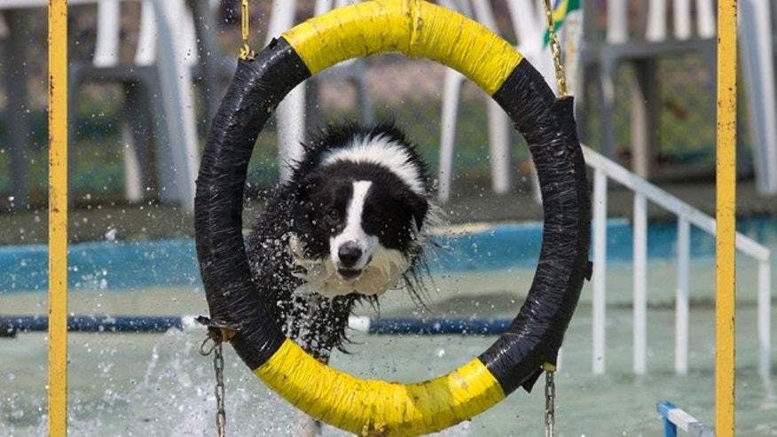 "Dog ""Ozzy"" takes part in the jumping competition during the Dog Olympic Games in Rio de Janeiro, Brazil, Sunday, Sept. 18, 2016. Owner of the dog park and organizer of the animal event Marco Antonio Toto says his goal is to socialize humans and their pets while celebrating sports. (AP Photo/Silvia Izquierdo)"