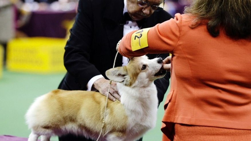 Feb. 11, 2013: A Pembroke Welsch Corgi is judged with the herding group during the Westminster Kennel Club dog show at Madison Square Garden in New York.