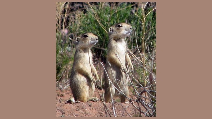 FILE -- Utah prairie dogs