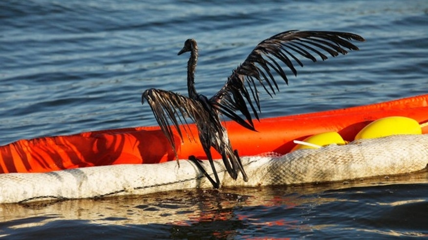 FILE -- June 26, 2010: An oil-drenched bird struggles to climb onto a boom out of the waters of Barataria Bay, La., which are filled with oil from the BP Deepwater Horizon oil spill.