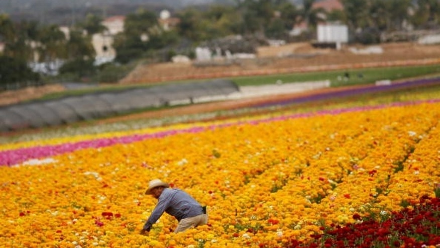 CARLSBAD, CA - APRIL 28:  A Hispanic farmworker harvests Ranunculus bulbs at the Flower Fields April 28, 2006 in Carlsbad, California. The debate in Washington continues over whether to create a temporary guest-worker program for immigrants wishing to find work in the United States.  (Photo by Sandy Huffaker/Getty Images)