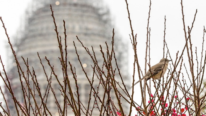 FILE -- Dec. 30, 2015: A bird sits among the winterberries at the U.S. Botanic Garden on Capitol Hill in Washington. (AP Photo/J. Scott Applewhite)
