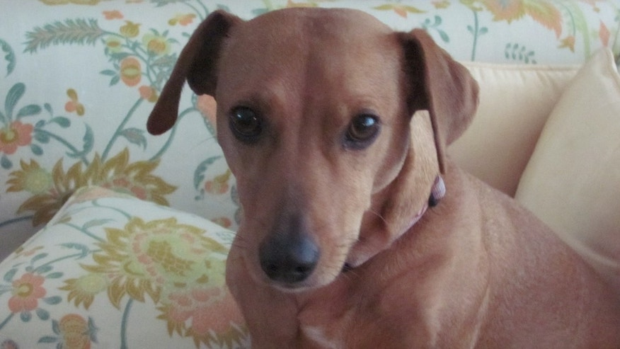 Lola the dachshund (Animal Legal Defense Fund)