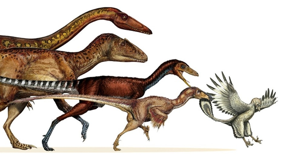This undated artist rendering provided by the journal Science shows the dinosaur lineage which evolved into birds shrank in body size continuously for 50 million years. From left are, the ancestral neotheropod, the ancestral tetanuran, the ancestral coelurosaur, the ancestral paravian and Archaeopteryx. Scientists have mapped how one group of dinosaurs evolved from the likes of the fearsome Tyrannosaurus rex and primitive Herrerasaurus to the welcome robin and cute hummingbird.Comparing fossils of 120 different species and 1,500 skeletal features, especially leg bones, researchers constructed a detailed family tree of theropod dinosaurs. That suborder of dinos survives to this day as birds, however unrecognizable and improbable it sounds.