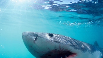 Great White Shark, photographed from the safety of a cage in South Africa