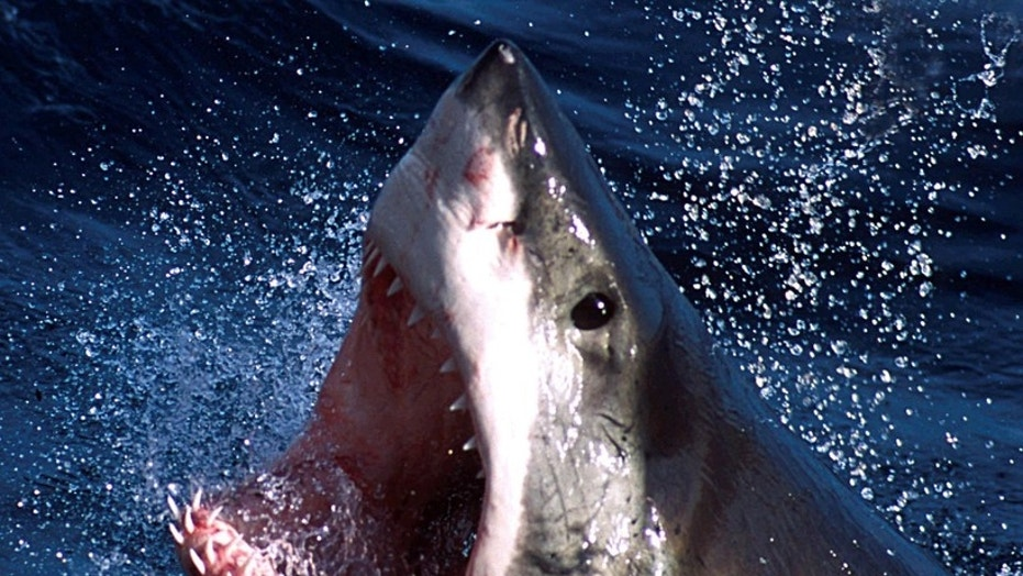 FILE -- A great white shark