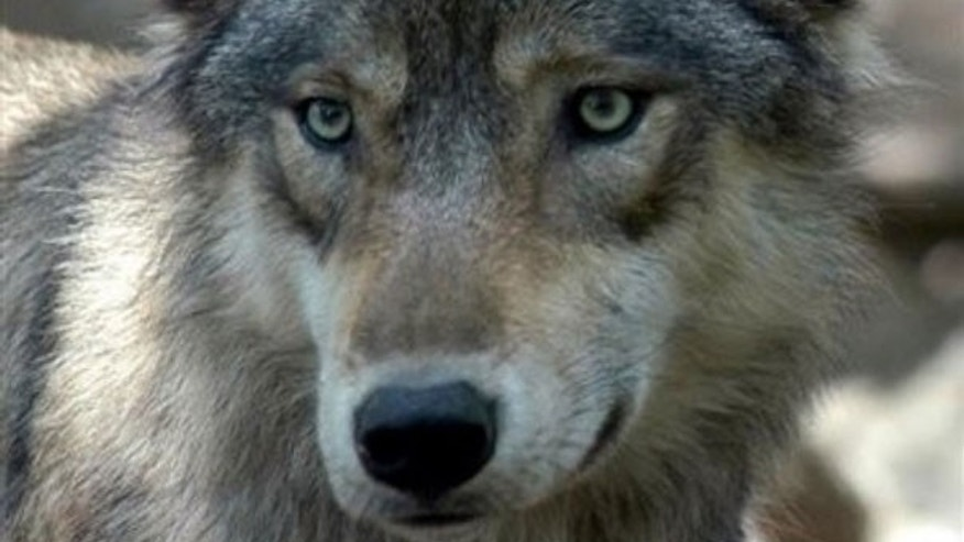 This July 16, 2004 file photo shows a gray wolf at the Wildlife Science Center in Forest Lake, Minn. More than 4,000 gray wolves in the upper Great Lakes region are going back on the federal endangered species list -- at least temporarily (AP).