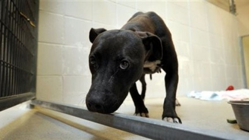 A pit bull seized from a home in Tecumseh, Neb., in a multistate dogfighting raid July 10, 2009, is seen at the Nebraska Humane Society in Omaha. (AP Photo)