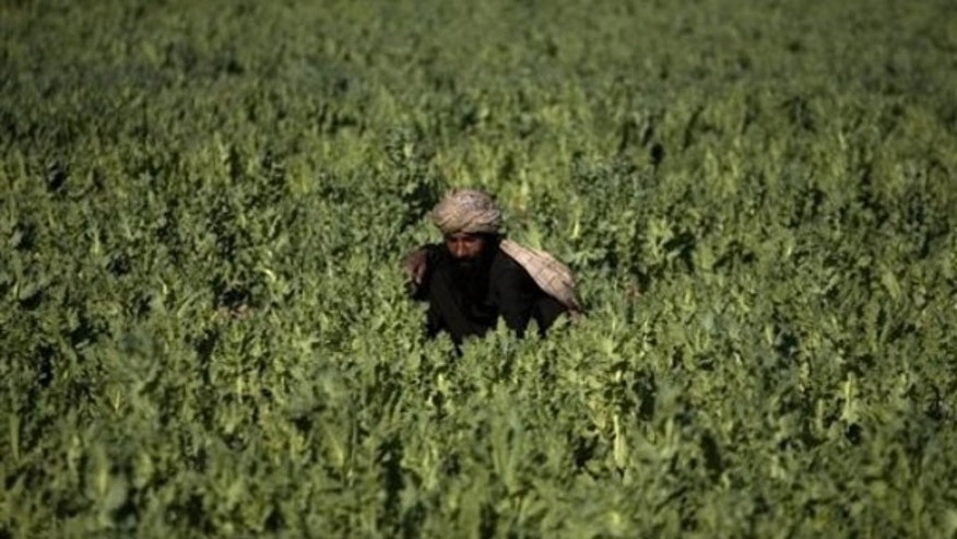 In this photo taken March 19, a farmer works in a poppy field in Marjah, Afghanistan. (AP Photo)