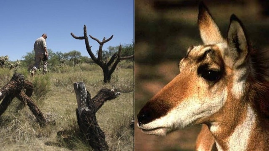 Shown here is a Border Patrol agent along the Arizona border in 2009, left, and a Sonoran Pronghorn. (Reuters/Fish and Wildlife)