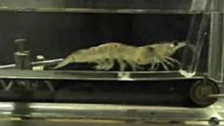 Shown here is a shrimp walking on a treadmill, part of a National Science Foundation-funded research project.