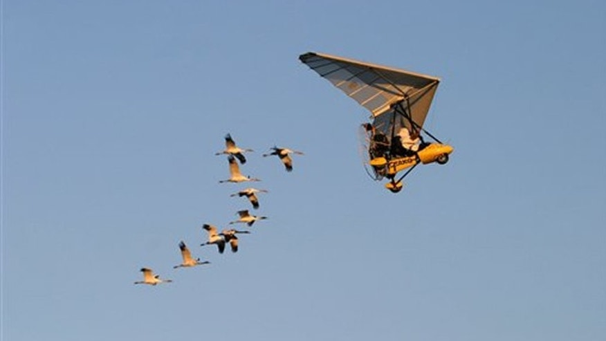 This photo, taken in 2006, provided by operationmigration.org shows Operation Migration co-founder Joe Duff followed by juvenile Whooping cranes along a new migration route in Green County, Wis.