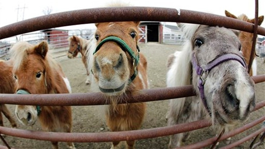 March 15, 2012: Rescued miniature horses are seen at their corral in Methuen, Mass.